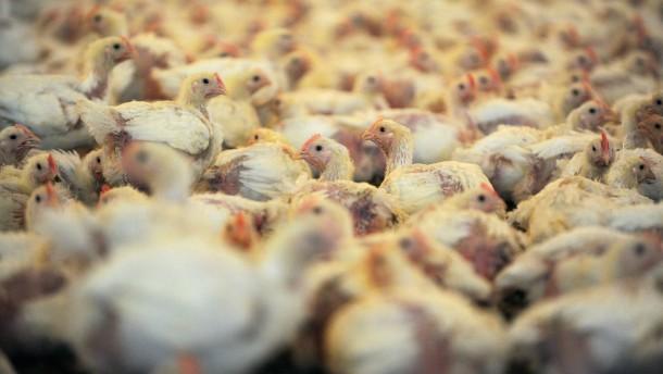 Supermärkte zahlen Millionen für bessere Tierhaltung
