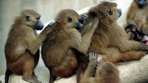 50 Paviane brechen aus Pariser Zoo aus