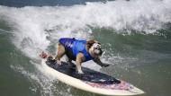 Die kräftige Bulldogge Tillman steht auf dem Brett, als hätte sie ihr ganzes Leben noch nie festen Boden unter den Füßen gehabt.