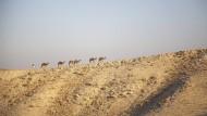 Kurz nach dem Sonnenaufgang in der Judäischen Wüste im Westjordanland: ein Hirte mit seinen Kamelen