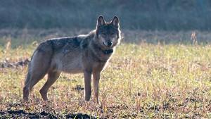 """""""Die Wölfe nähern sich auch den Menschen"""""""