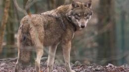 Streit um den Wolf