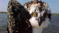 Huch: Ein Fischadler wird von der Kamera in Virginia überrascht.