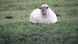Schafschlächter auf frischer Tat ertappt