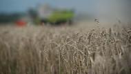 Fehl am Platz: Viele Landwirte hätten ihren Weizen lieber schon im Getreidespeicher.