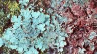 Die Sulcatflechte (Parmelia sulcata) kommt auch mit hohen Stickstoffbelastungen zurecht.