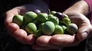 Frisch geerntet: Oliven aus der kroatischen Region Primosten