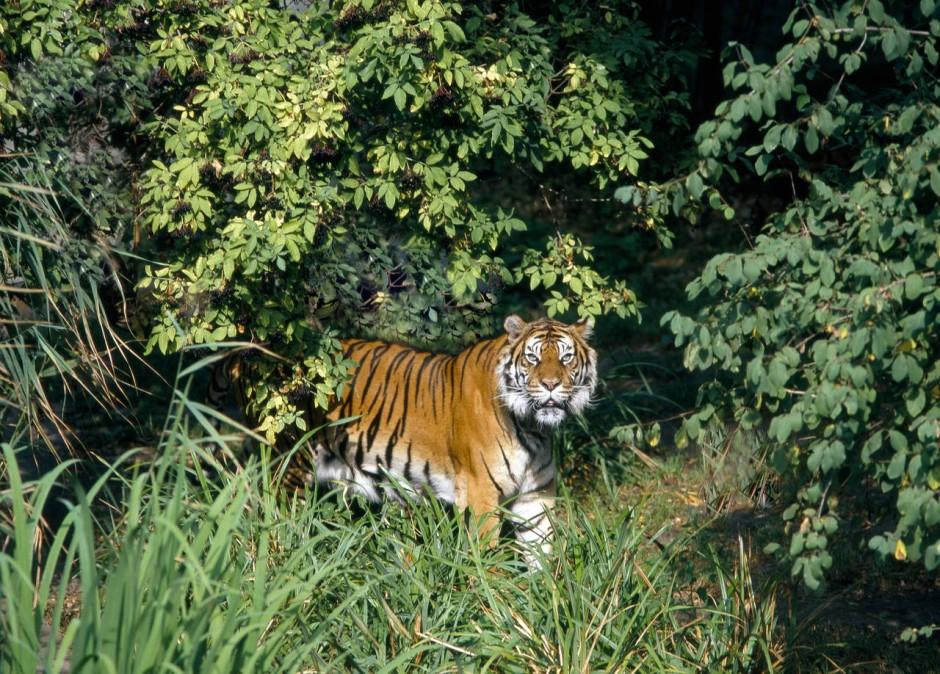 Der wahre Dschungelkönig: ein Sumatra-Tiger in voller Pracht.