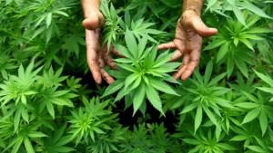 Umzug verrät Pärchen: Cannabis-Plantage verladen