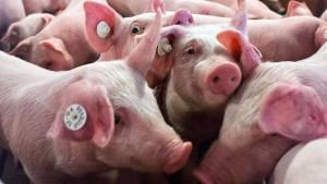 Mehr Platz für weniger Schweine