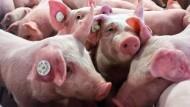 Platzfrage: Bis 50 Kilo stehen ihnen gesetzlich 0,5 Quadratmeter zu, bei mehr als 110 Kilogramm ist es ein Quadratmeter - die Tierwohl-Initiative verlangt mindestens zehn Prozent mehr