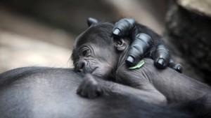 Gorilla-Baby ist ein Mädchen