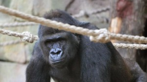 """Gorilla-Mann """"Viatu"""" tötet eigenes Baby"""
