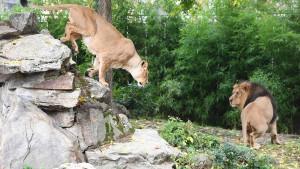 Frankfurts Zoo-Löwen sollen mehr Platz bekommen