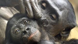Trauer im Affenhaus: drei Bonobos tot