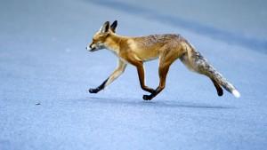 Fuchs greift Frau an: Polizei vermutet Tollwut
