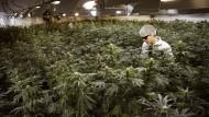 Ein Marihuana-Pflanzer in Ontario gießt seine Blumen.