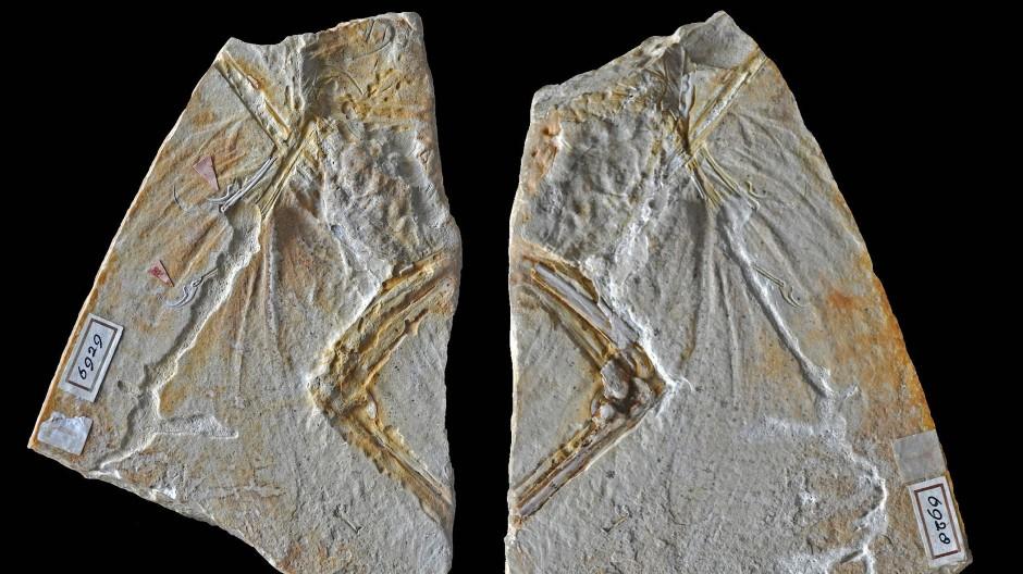 Die beiden Platten des Haarlemer Exemplars, das bislang als erster fossiler Fund des Urvogels Archaeopteryx galt.
