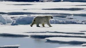 Der Hunger der Eisbären