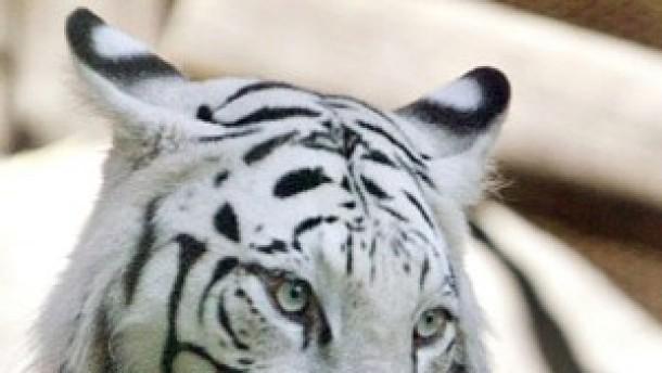 Tigerzählung in den Sunderbans